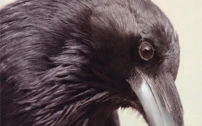 Raven/Crows